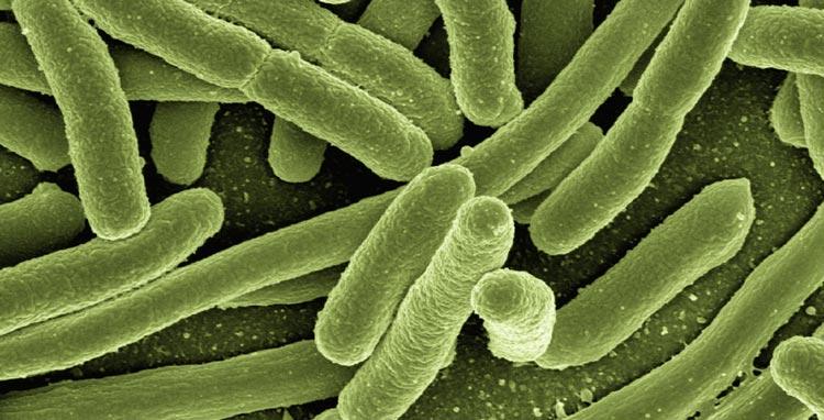 Koli Bakterien unter Mikroskop